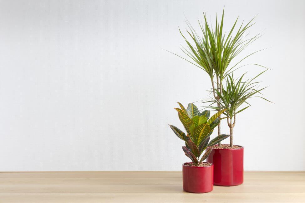 Dracaena Plants for Sale at Etsy