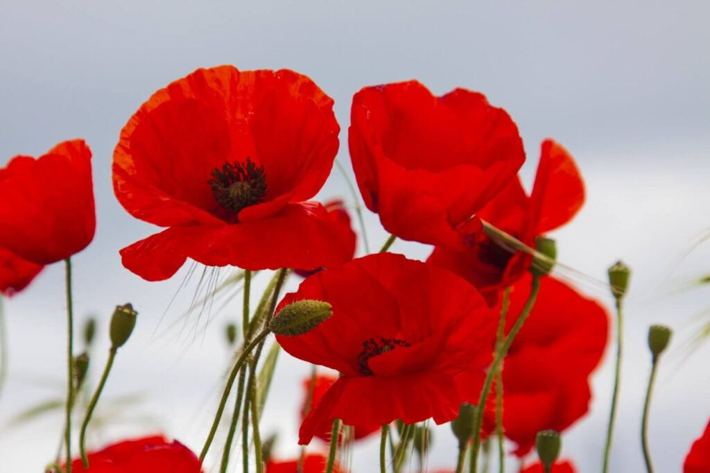 Everything You Need to Know About Poppy Flower Meaning, Types and Uses