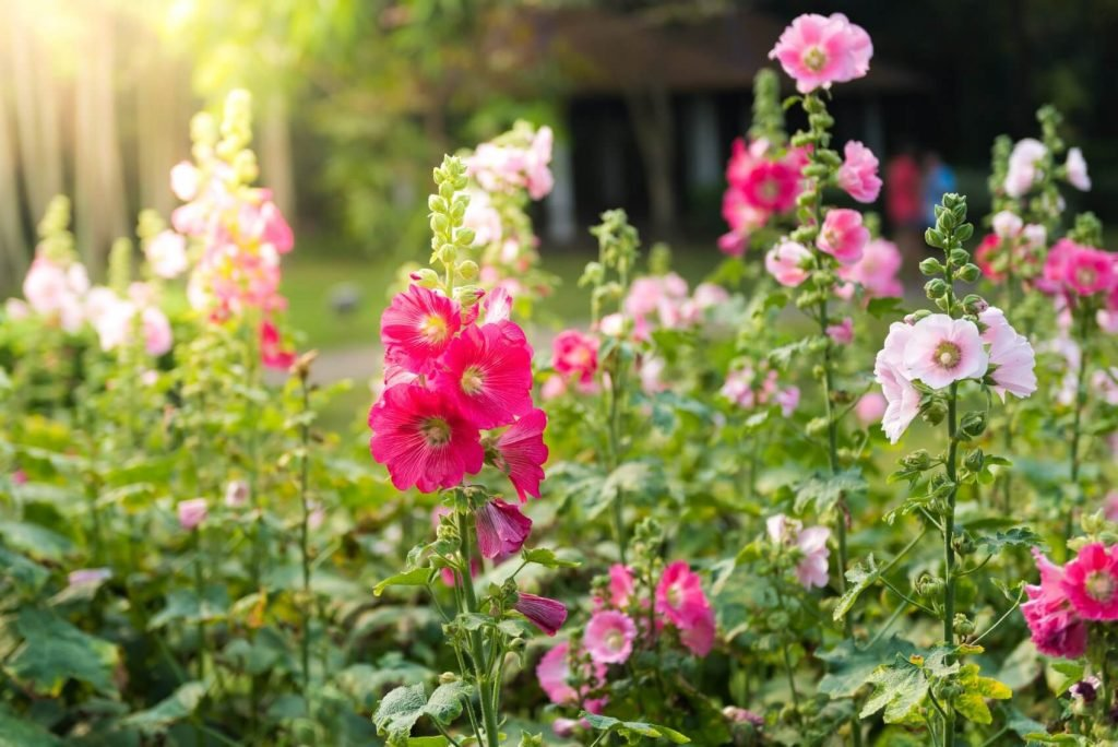 Hollyhock Flower Meaning, Popular Types, and Uses