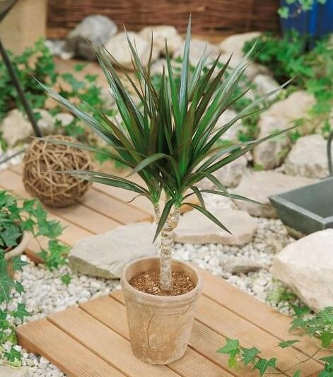 Home Depot Dracaena Plants for Sale