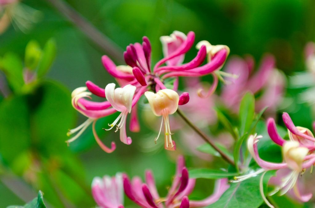 Honeysuckle Flower Meaning, Popular Types, and Uses
