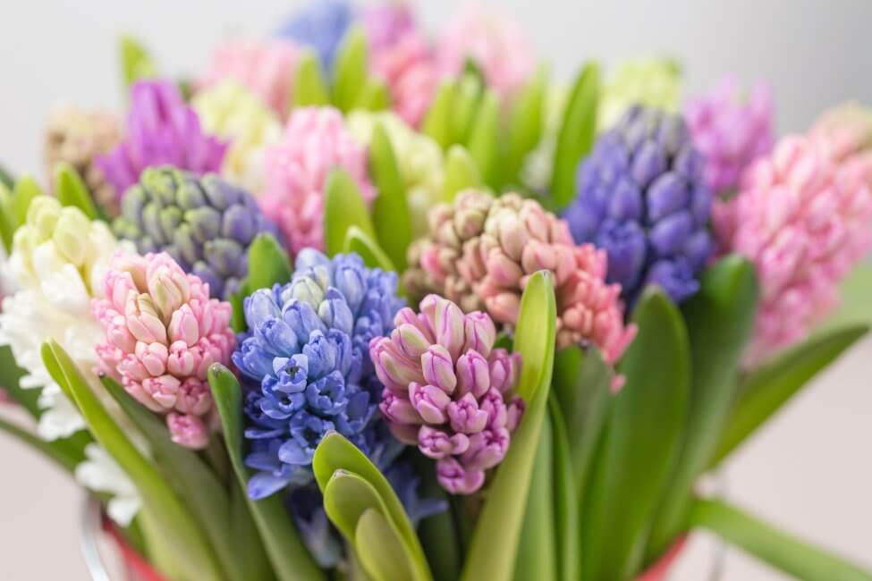 How to Care for Fresh Cut Hyacinth Flowers at Home