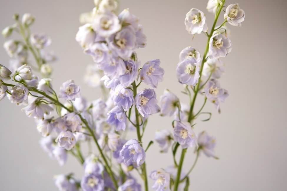 How to Care for Fresh Cut Larkspur Flowers at Home