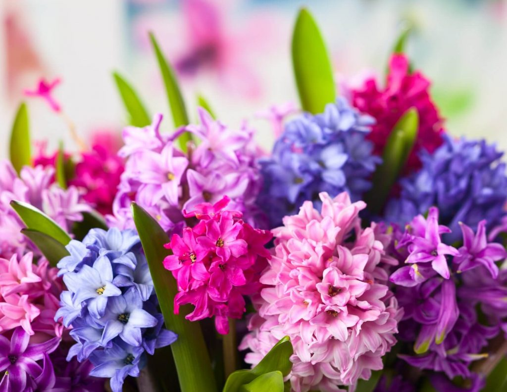 Hyacinth Flower Meaning, Symbolism, Popular Types, and Uses