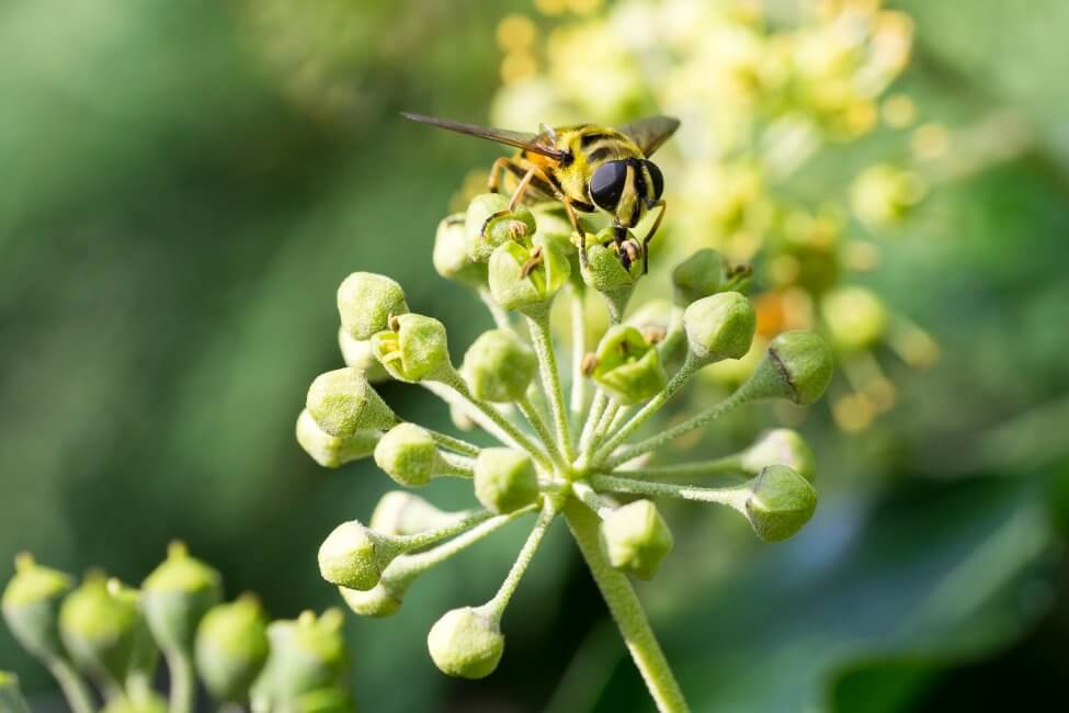 Ivy Bee Friendliness and Pollination