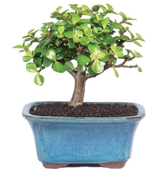 Jade Plant Same Day Delivery at FromYouFlowers