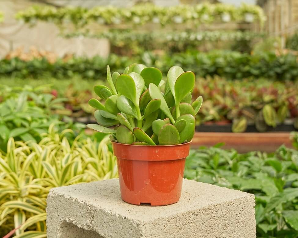 Jade Plant for Sale at Rooted