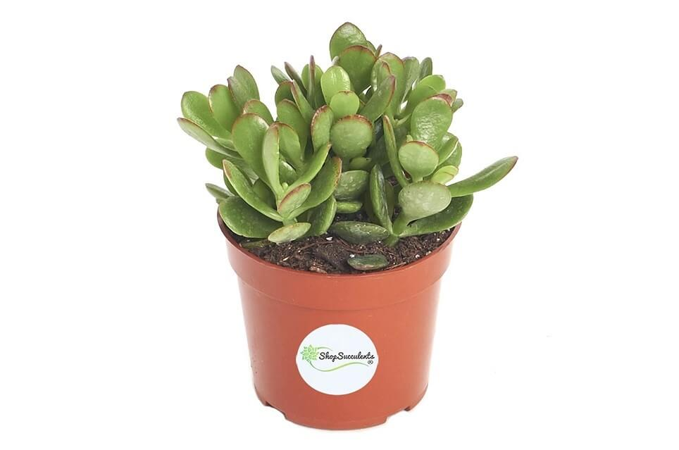 Jade plants for sale at Amazon.com