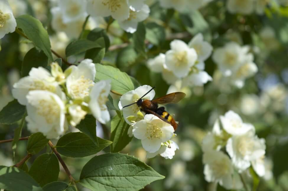 Jasmine Flowers Toxicity, Bee Friendliness, and Pollination