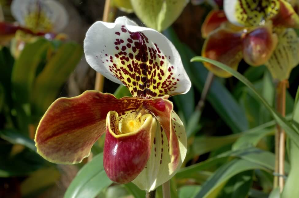 Lady's Slipper Orchids Meaning & Symbolism