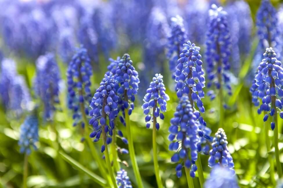 Light Blue Hyacinth Flower Meaning