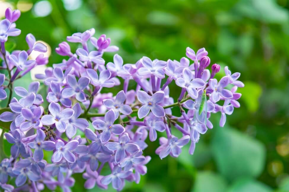 Light Purple Lilac Flower Meaning