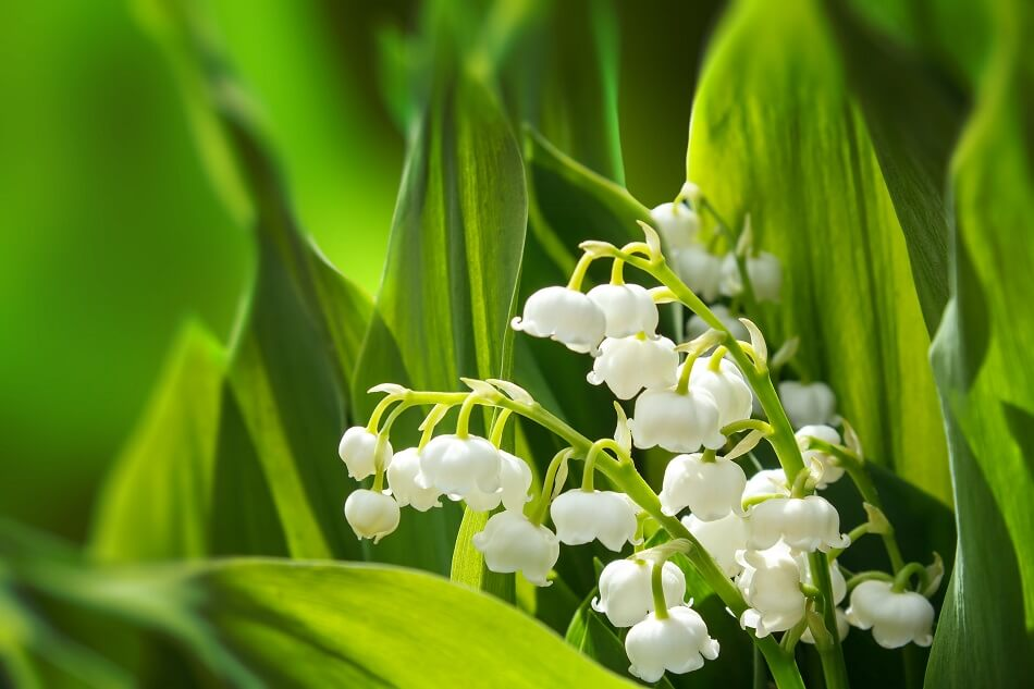 Birth Flower for May: Lily of the Valley