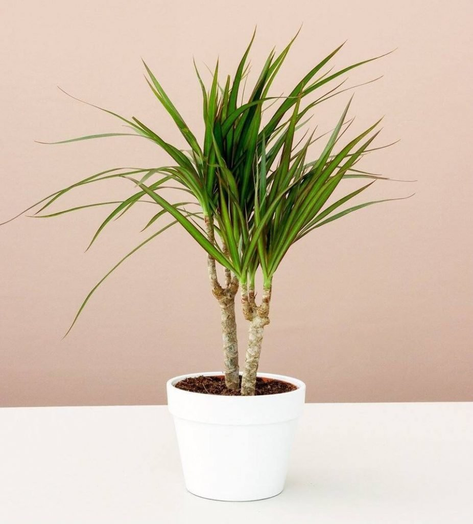 Lively Root Dracaena Plants for Sale