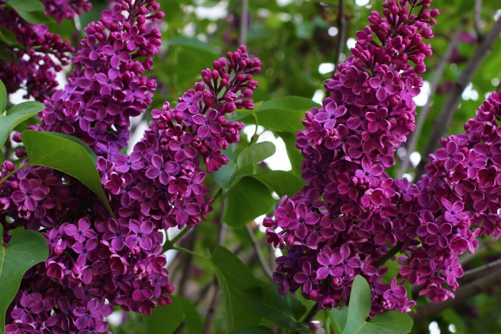 Magenta Lilac Flower Meaning