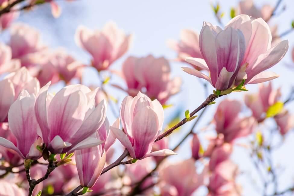 Magnolias (Magnolia)