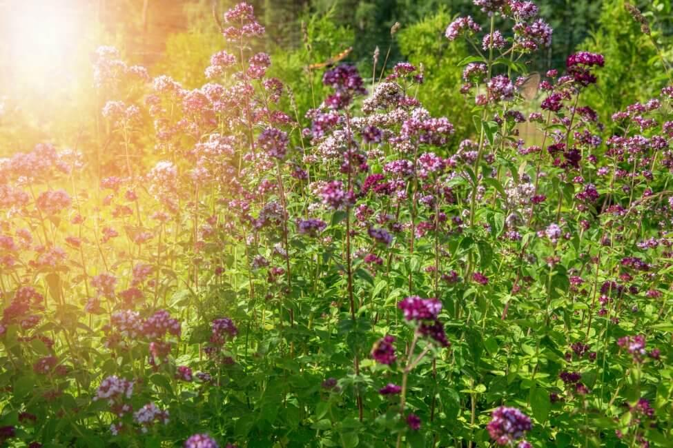 Marjoram Flower Meaning & Symbolism