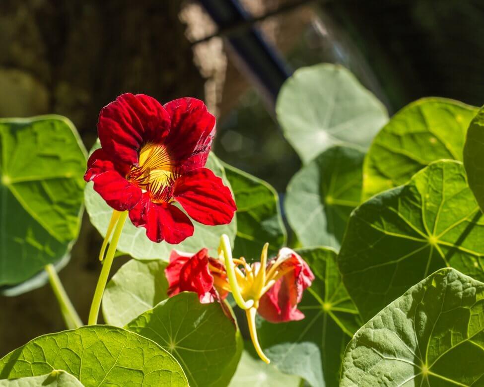 Maroon Nasturtium Flower Meaning