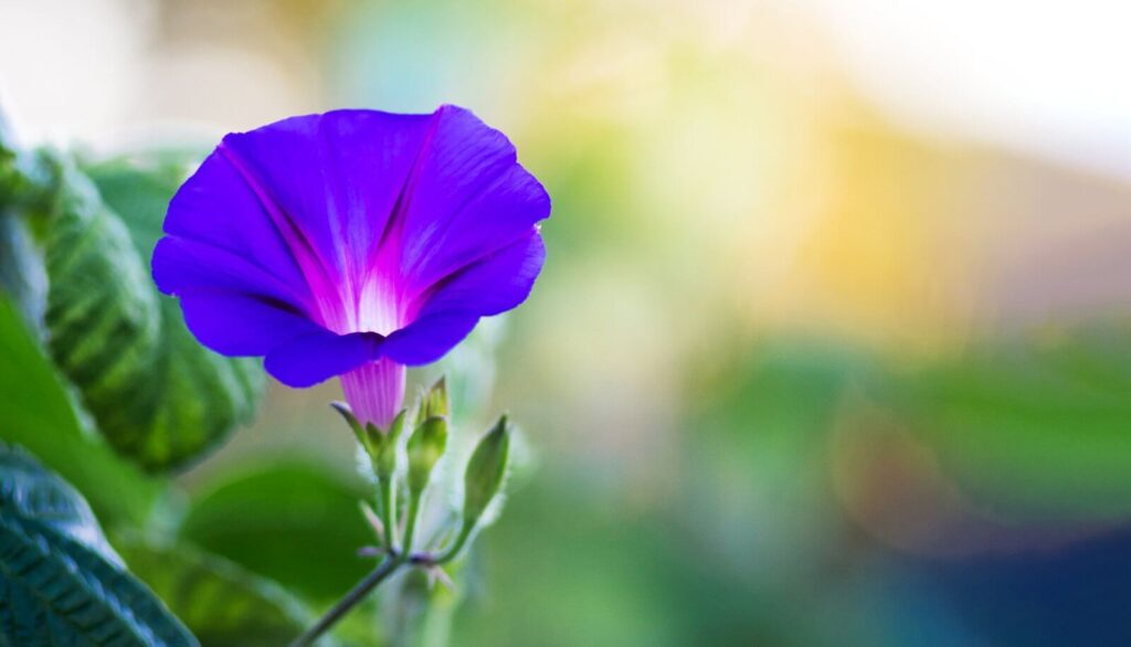 Morning Glory Flower Meaning, Symbolism, and Uses