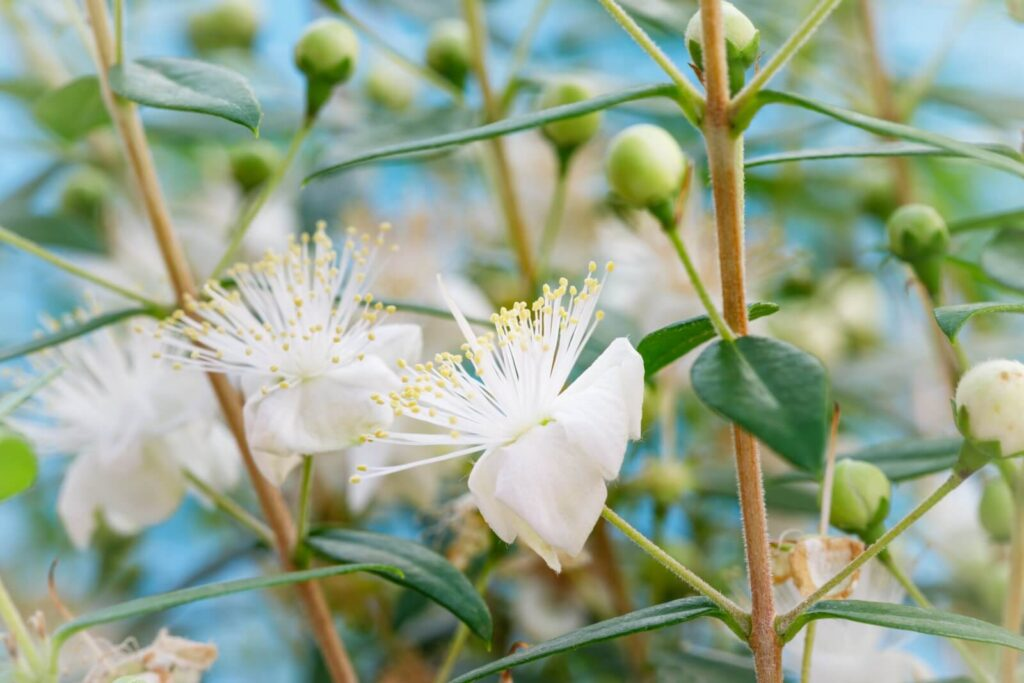 Myrtle Flower Meaning, Symbolism, and Uses