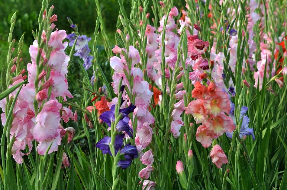 Myths About Gladiolus Flowers