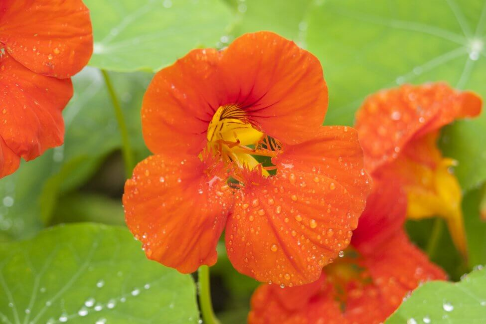 Orange Nasturtium Flower Meaning