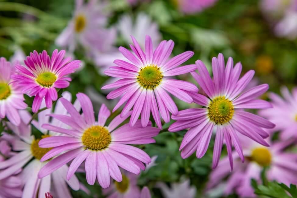 African Daisies (Osteospermum) Pink Flowers
