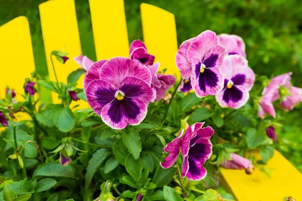 Pansy (Viola tricolor var. hortensis)