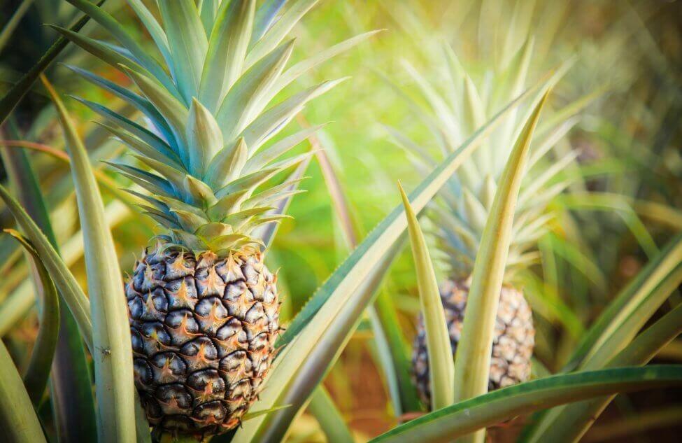 Pineapple Bromeliad (Ananas comosus)