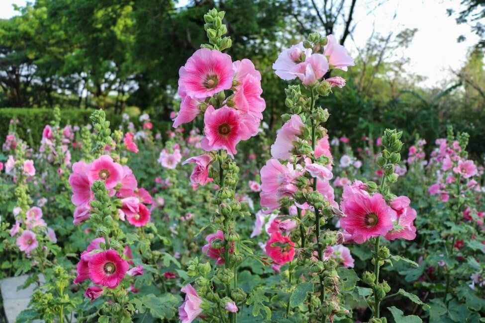 Pink Hollyhocks Flower Meaning