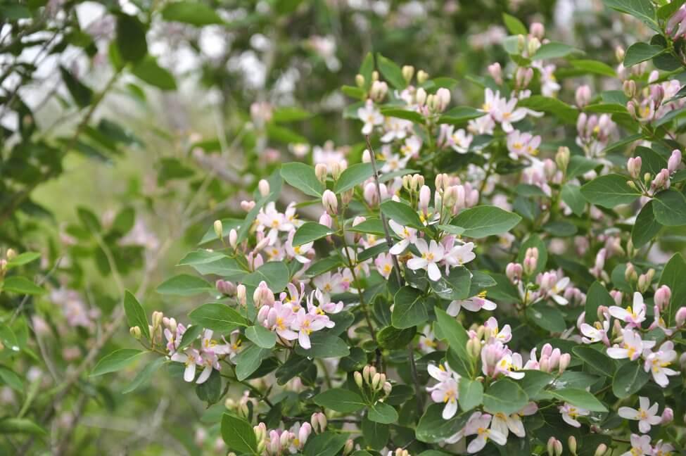 Pink Honeysuckle Flower Meaning