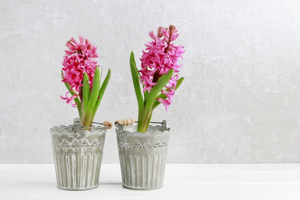 Pink Hyacinth Flower Meaning