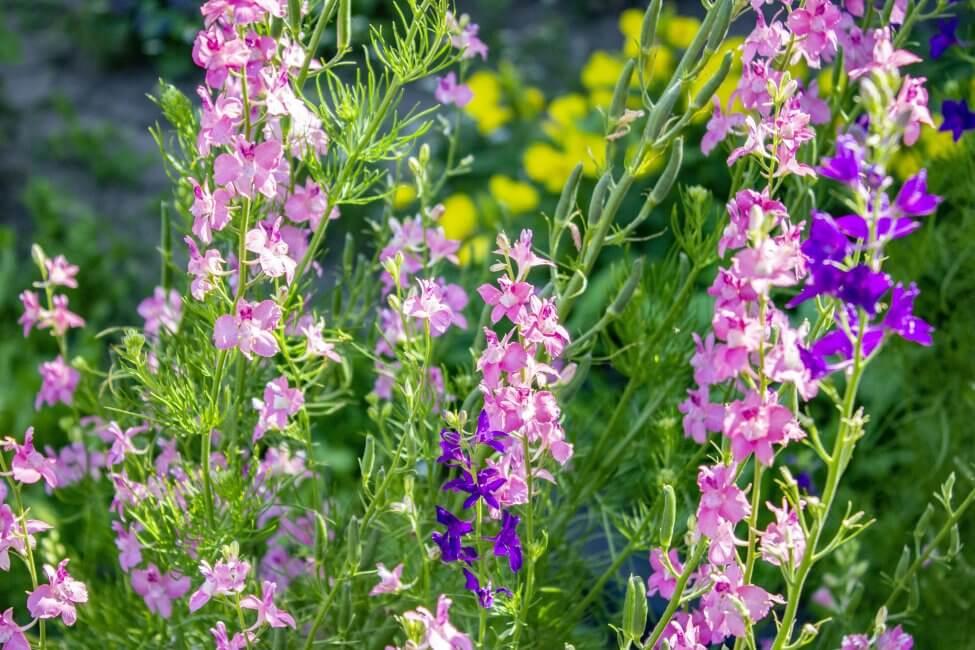 Pink Larkspur Flower Meaning