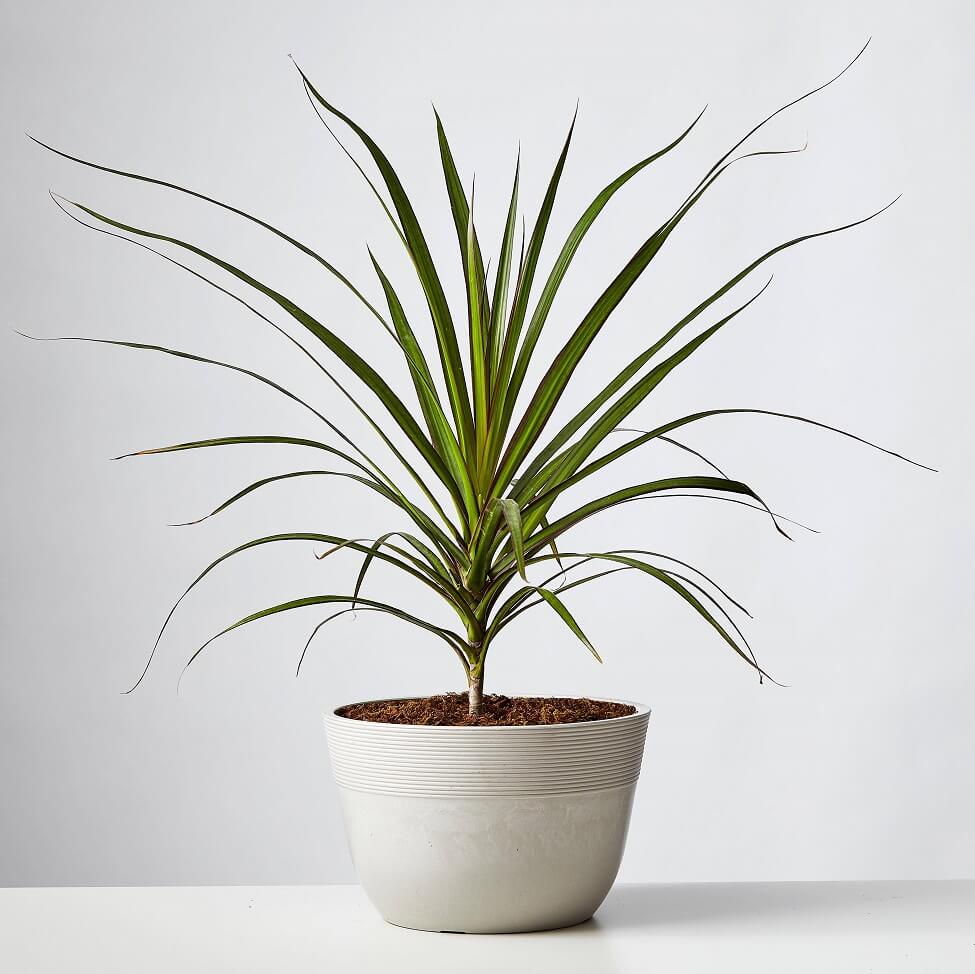 Plants.com Dracaena Plants for Sale