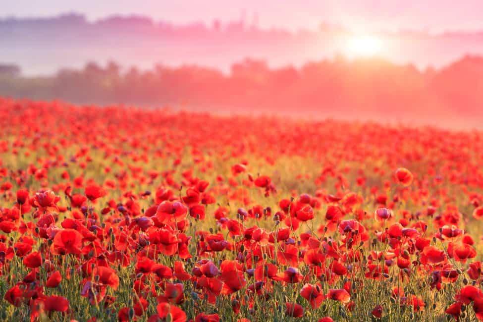 Poppy Flower Meaning & Symbolism