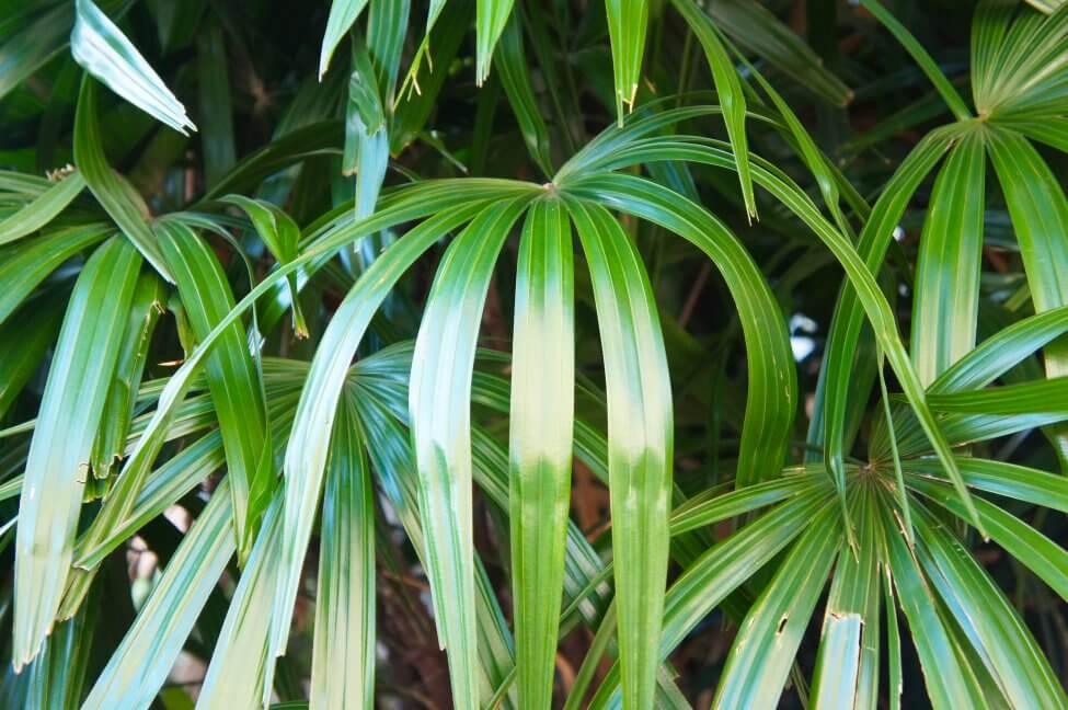 Popular Broadleaf Lady Palm Varieties