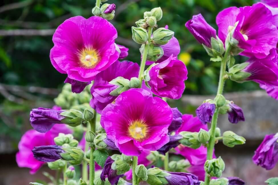Popular Hollyhock Types, Species, and Cultivars