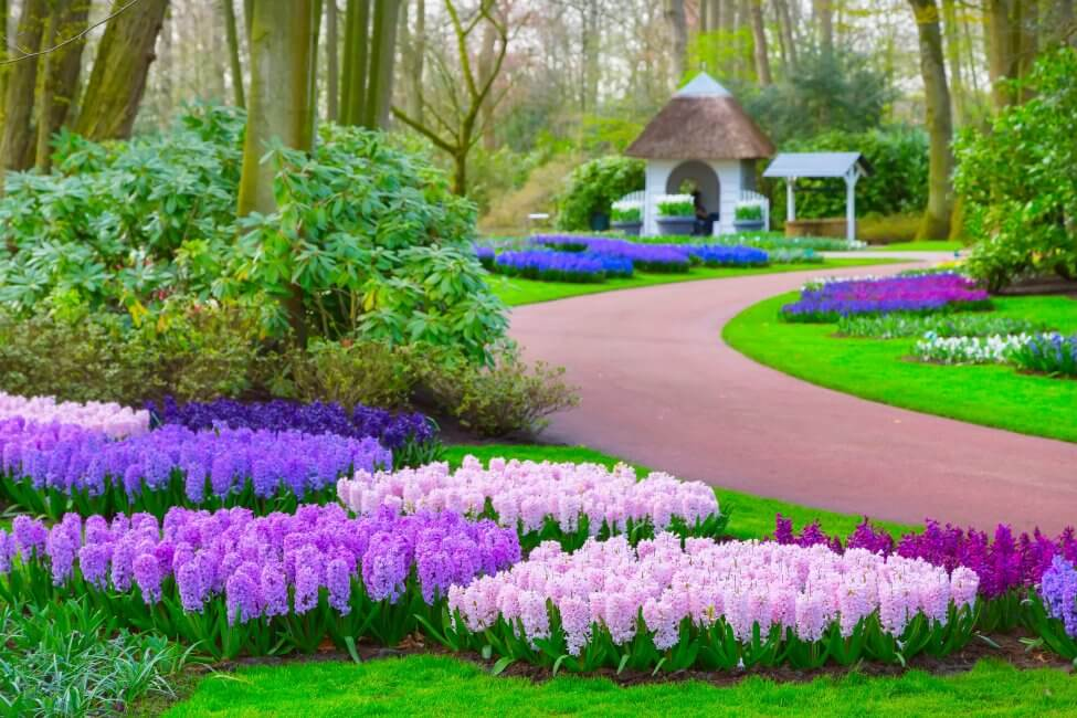 Popular Hyacinth Types, Species, and Cultivars
