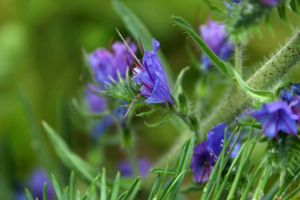 Popular Hyssop Flower Types, Species, and Cultivars