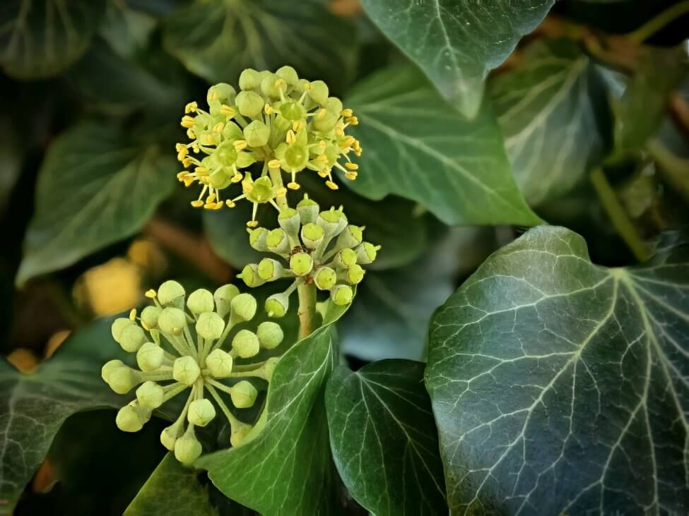 Popular Ivy Flower Types, Species, and Cultivars