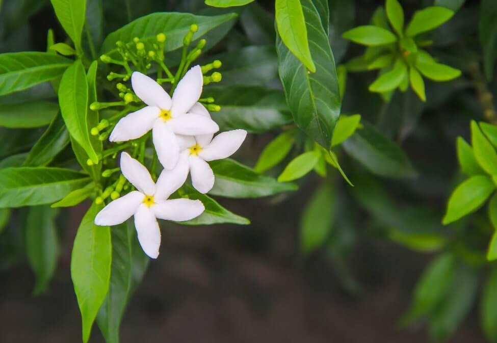Popular Jasmine Flower Types, Species, and Cultivars
