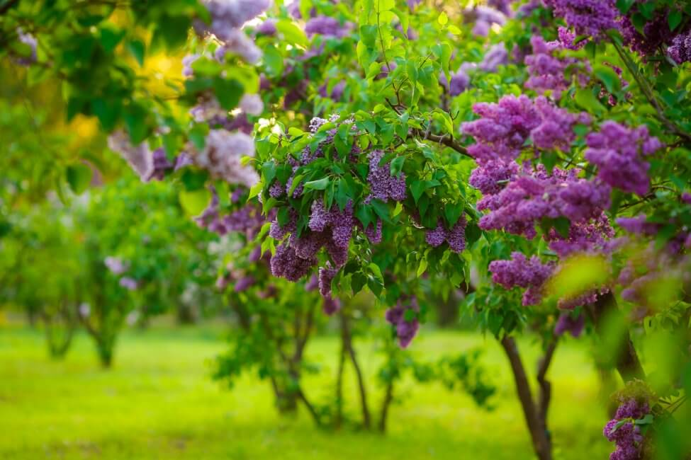 Popular Lilac Types, Species, and Cultivars