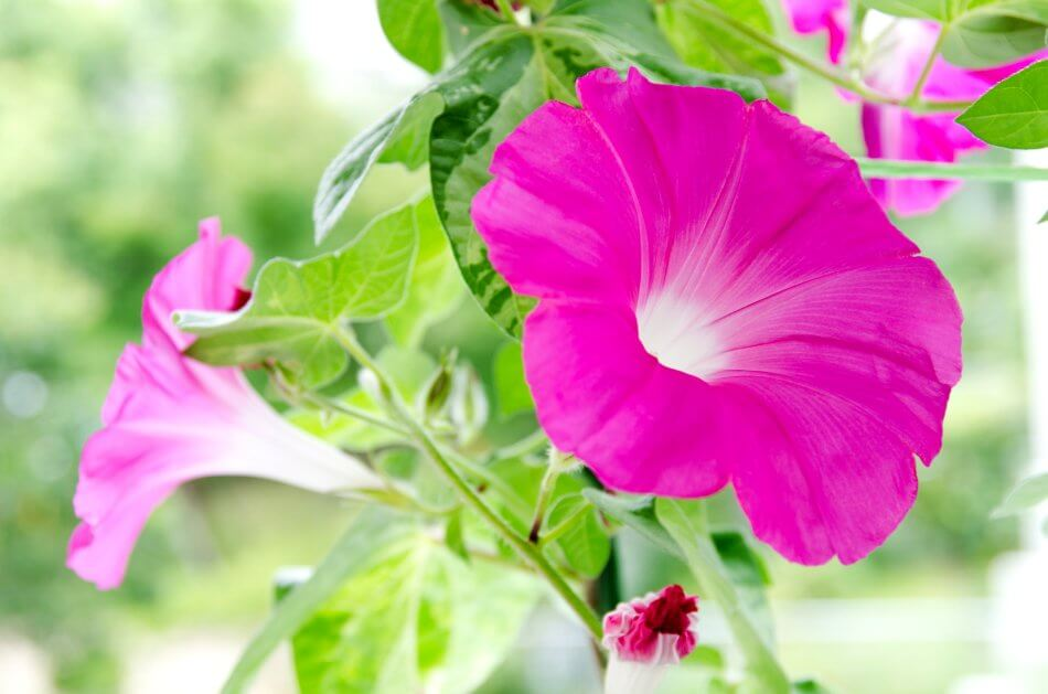 Popular Morning Glory Types, Species, and Cultivars