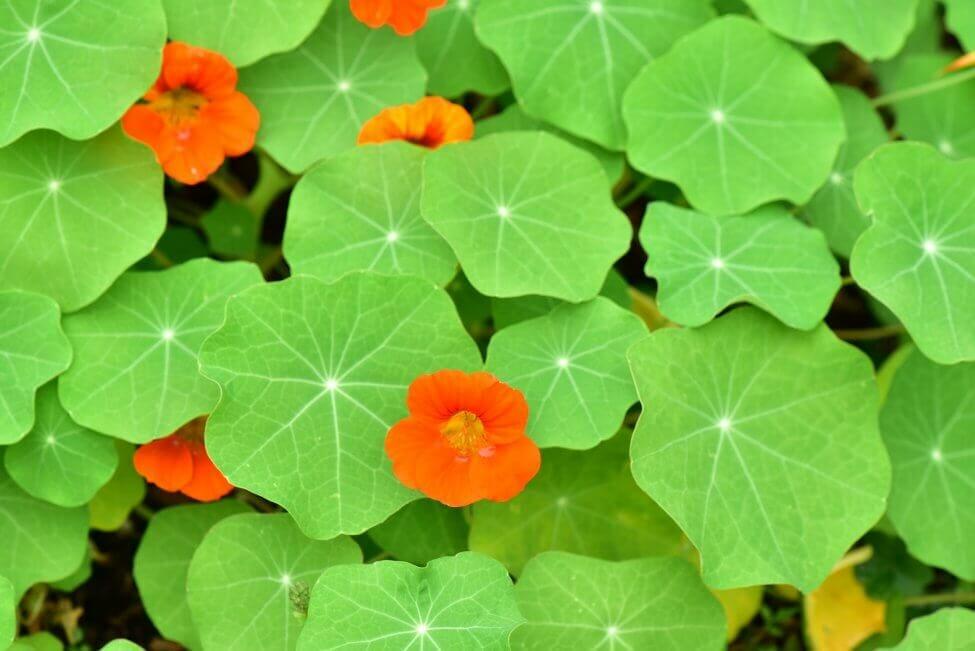 Popular Nasturtium Types, Species, and Cultivars