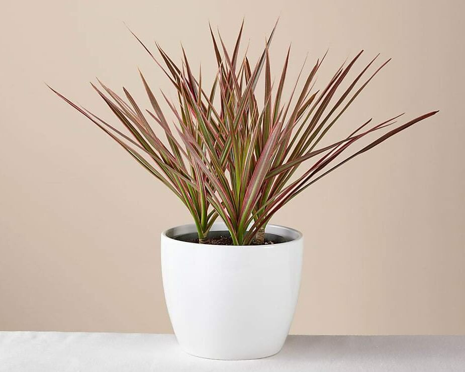 ProFlowers Dracaena Marginata Plant for Sale