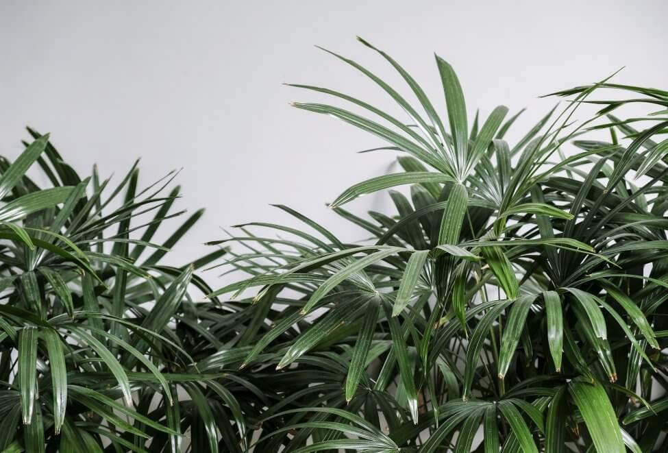 Pruning Broadleaf Lady Palms