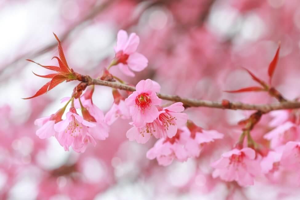Prunus (Prunus)