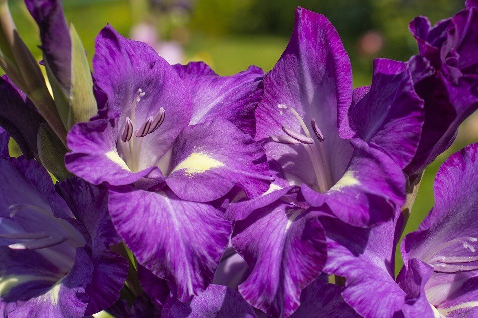 Purple Gladiolus flower meaning and symbolism