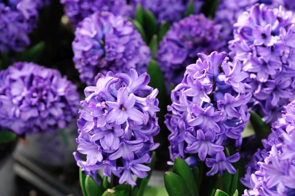 Purple Hyacinth Flower Meaning