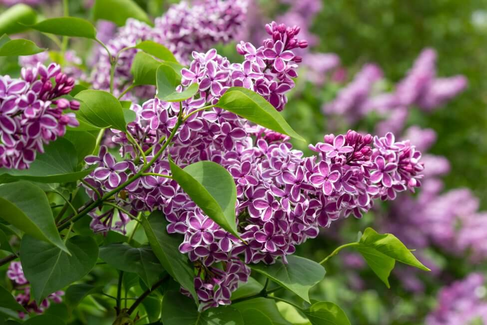 Purple Lilac Flower Meaning